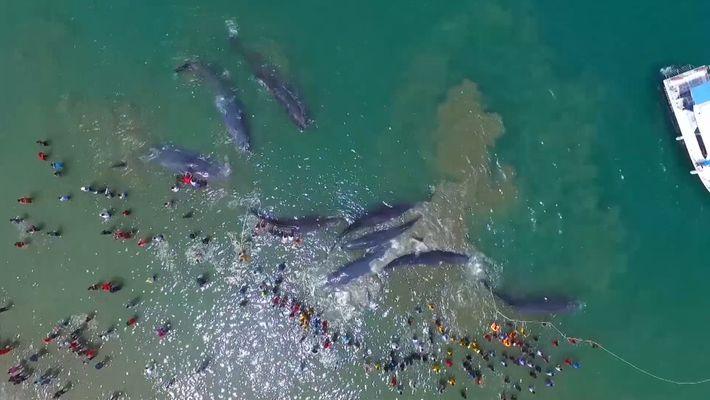 Rettungsunterfangen für 10 gestrandete Wale