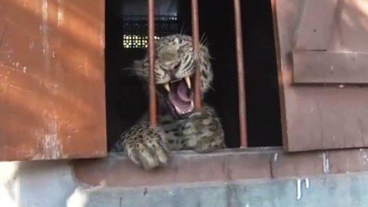 Leopard fällt vier Menschen in Schule an