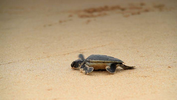 Steigende Temperaturen sorgen für Männchenmangel bei Schildkröten