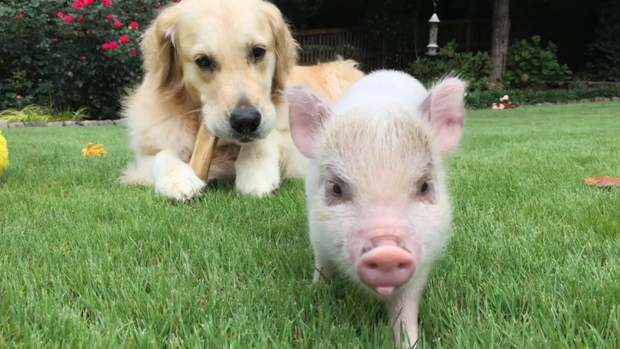 Die Ballade von Luna dem Schwein und Cloud dem Hund