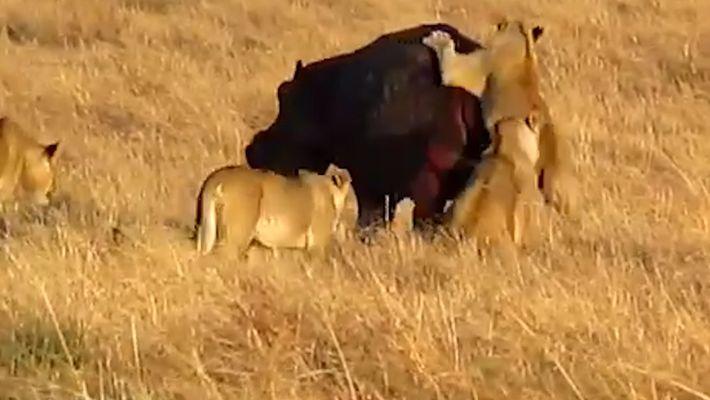 Flusspferd scheint von Löwenangriff kaum beeindruckt