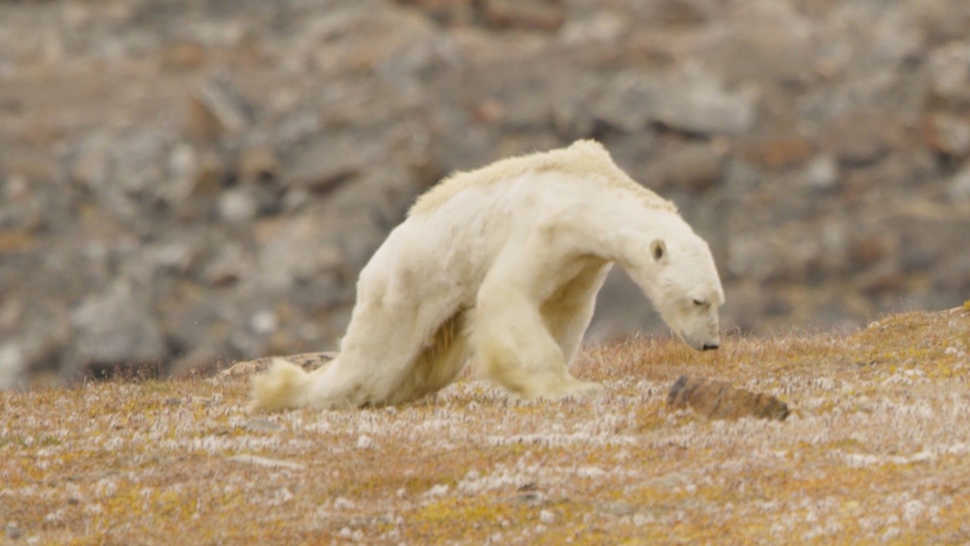 Eisbär verhungert in eisfreier Landschaft | National Geographic
