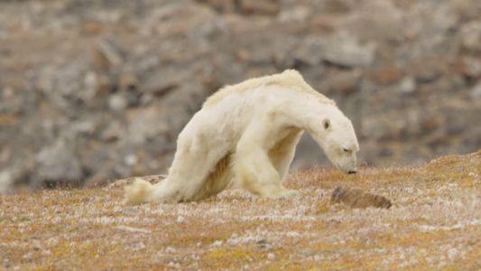 Eisbär verhungert in eisfreier Landschaft