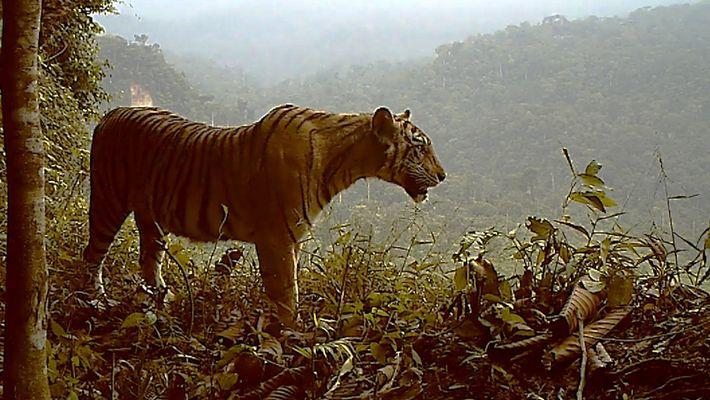 Vom Aussterben bedrohter Tiger verliert rasant an Lebensraum