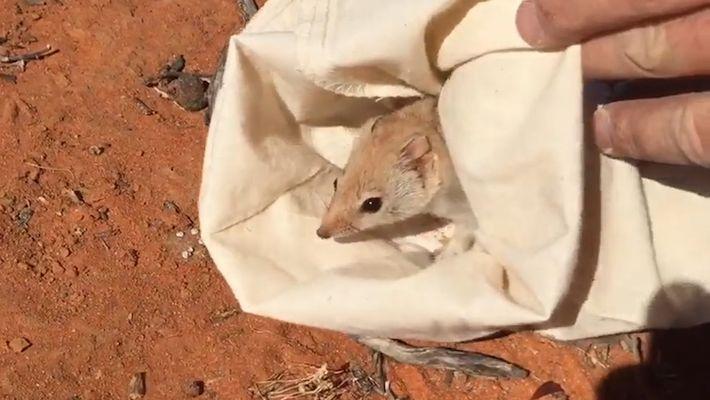 """""""Ausgestorbenes"""" Beuteltier in Australien wiederentdeckt"""