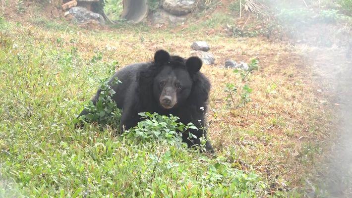 Geretteter Bär mit amputierten Pfoten lernt wieder zu laufen