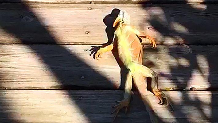 In Florida regnet es Leguane