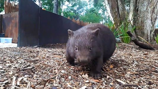 Wombats spielen verrückt