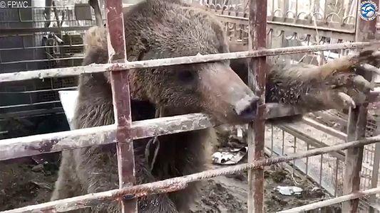 Ein geretteter Bär beginnt ein neues Leben