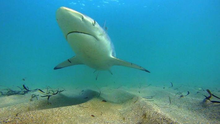 Warum ziehen weniger Kleine Schwarzspitzenhaie nach Florida