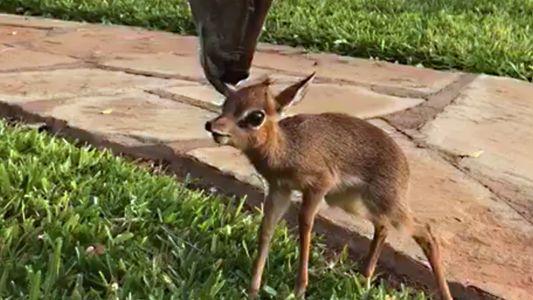 Winzige Antilope fand nach ihrer Rettung einen großen Freund