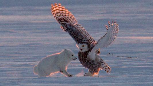 Tanzen Fuchs und Schneeeule hier zusammen?