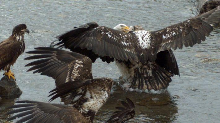 Zeitraffer: Weißkopfseeadler kämpfen um Beute