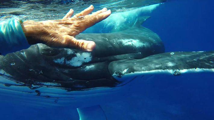 Wollte dieser Wal einer Taucherin das Leben retten?