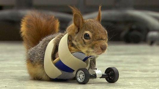 Radprothese für Eichhörnchen
