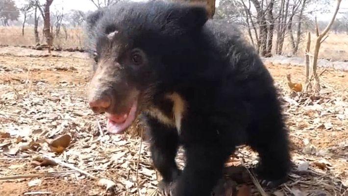 Mowgli, ein geretteter Lippenbär