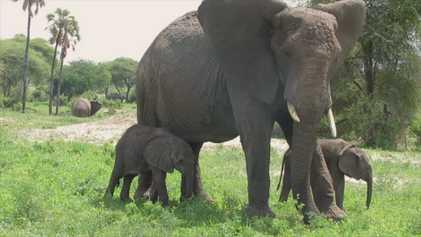 Seltene Elefantenzwillinge geboren