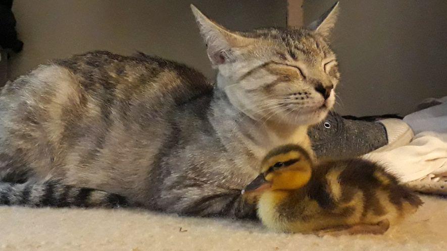 Entenküken von Katzenfamilie adoptiert.