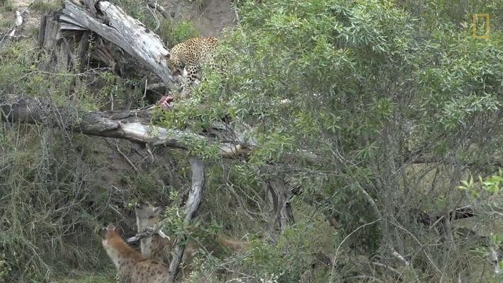 Hyänen umzingeln Leopard