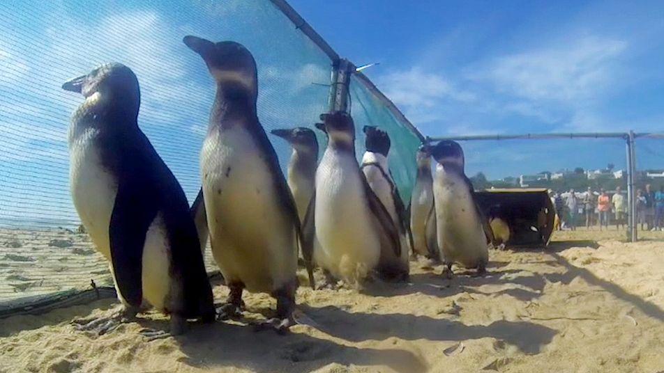 Gerettete Pinguine watscheln in die Freiheit