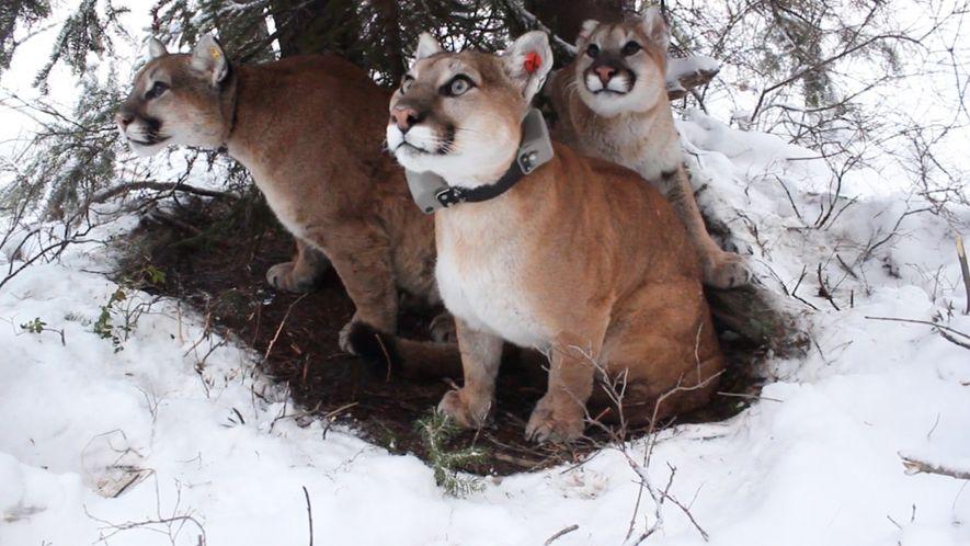 Nachwuchspflege bei wilden Berglöwen