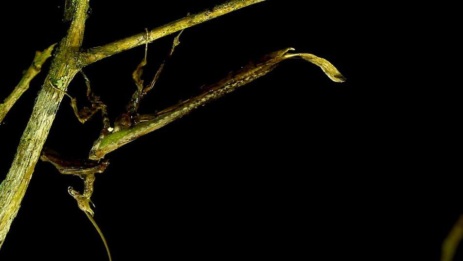 """Seltener Blick auf """"Drachenschrecke"""" in der Wildnis"""