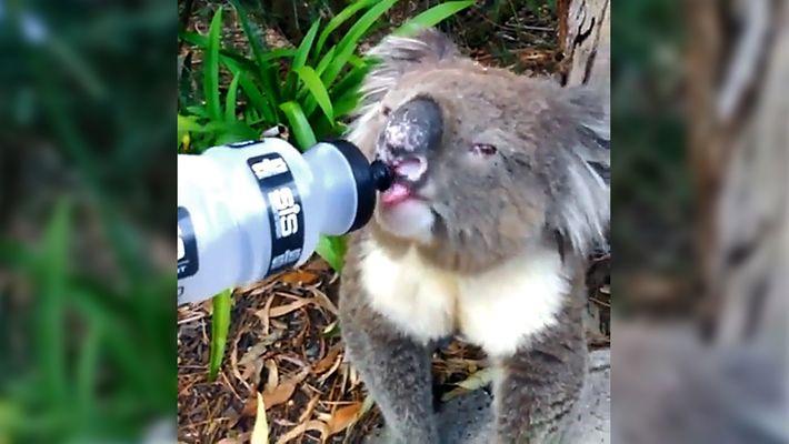 Hitzewelle in Australien: Tiere suchen Abkühlung