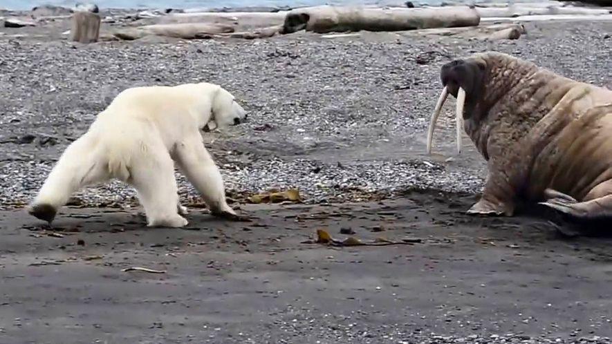 Eisbärenmutter auf verzweifelter Nahrungssuche