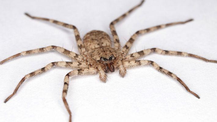 Video zeigt Angriff von Selenopidae-Spinnen