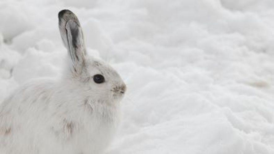 Schneeschuhhasen: Der Wettlauf von Evolution und Klimawandel