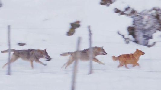 Italien: Wölfe und Haustiere