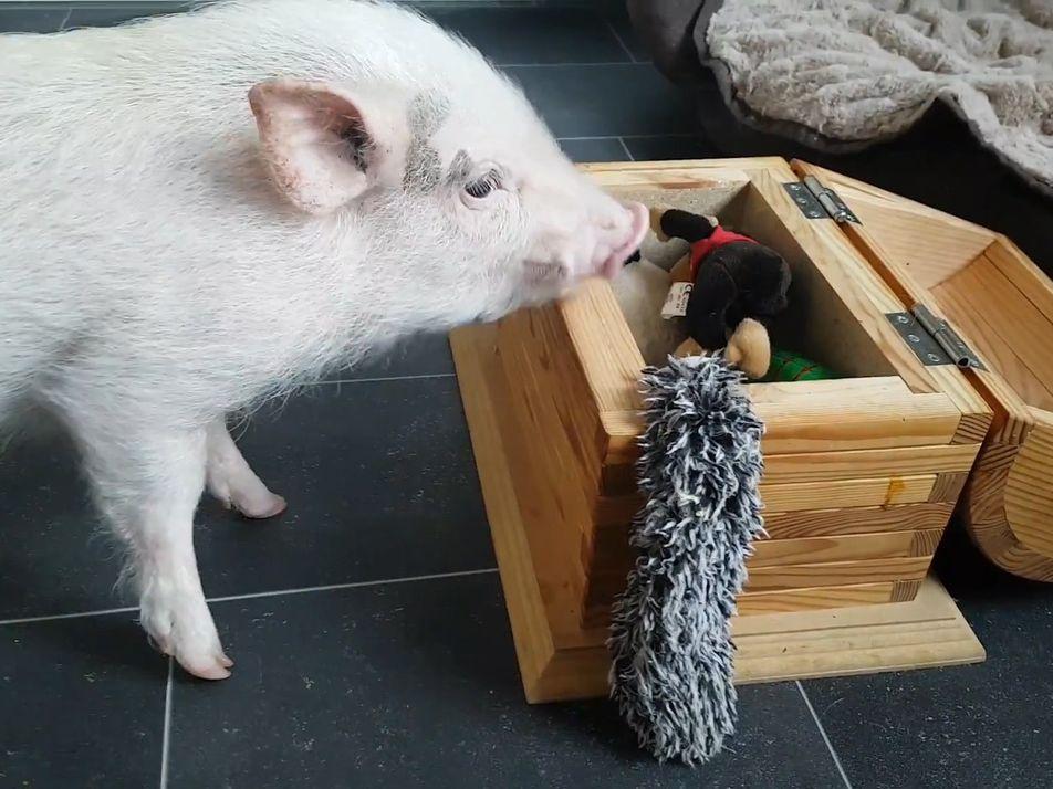Paul das Schwein räumt auf