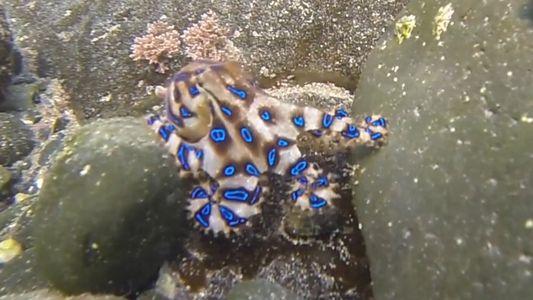 Leuchtender Oktopus kann für Menschen tödlich sein