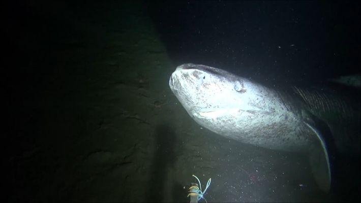Seltener Grönlandhai vor Kanada gefilmt