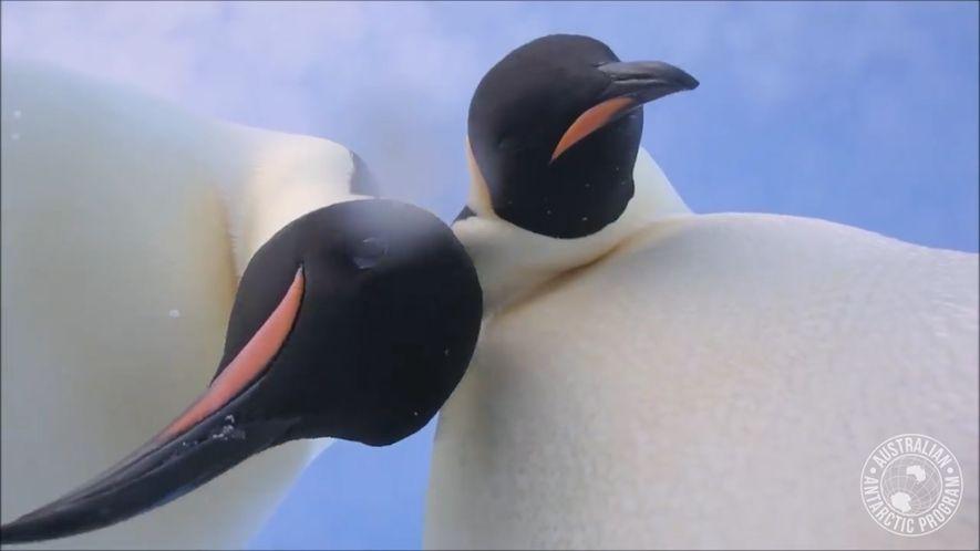"""Erstauntes Pinguin-Pärchen entdeckt """"Das Selfie"""""""