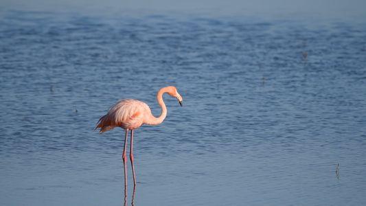 Flamingo taucht weit weg von zu Hause in einer Salzmarsch bei San Diego auf