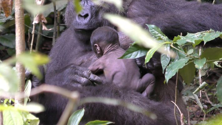 Seltene Aufnahmen eines neugeborenen Gorillas