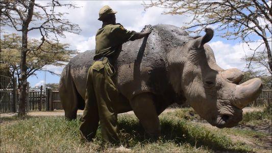 Letzter Nördlicher Breitmaulnashornbulle Sudan gestorben