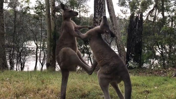 Zwei Kängurus beim Sparring