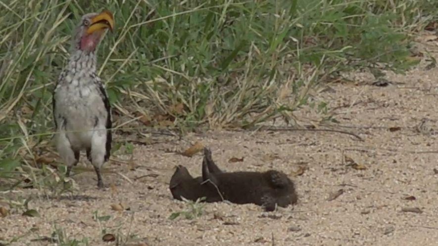 Mangusten laden Nashornvogel zum Spielen ein