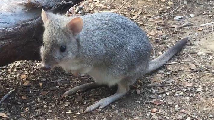 """Brian, das """"Mini-Känguru"""" – unerforschte Beuteltiere in Australien"""