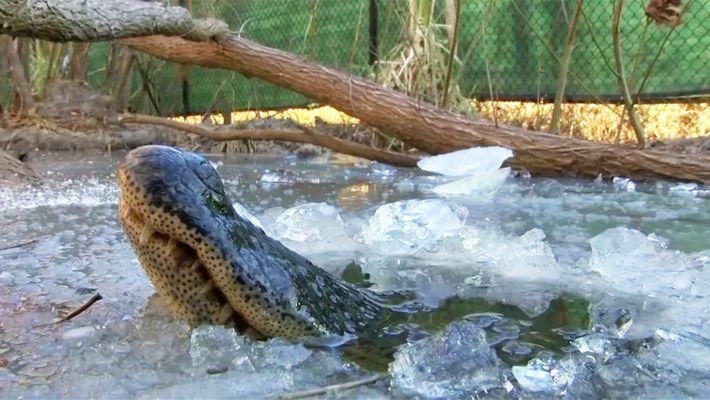 Alligatoren überleben im Eis dank besonderem Mechanismus