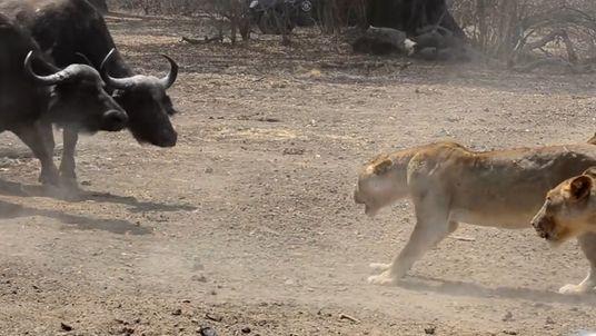 Begegnung am Wasserloch: Büffelherde trifft auf Löwenrudel