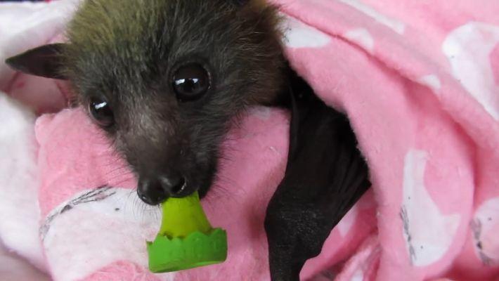 Gerettete Baby-Fledermäuse und Flughunde genießen ihr Dasein