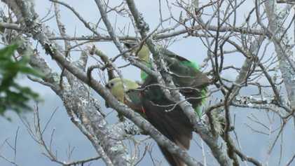 Einmalig: Afrikas seltenster Papagei bei der Paarung gefilmt.