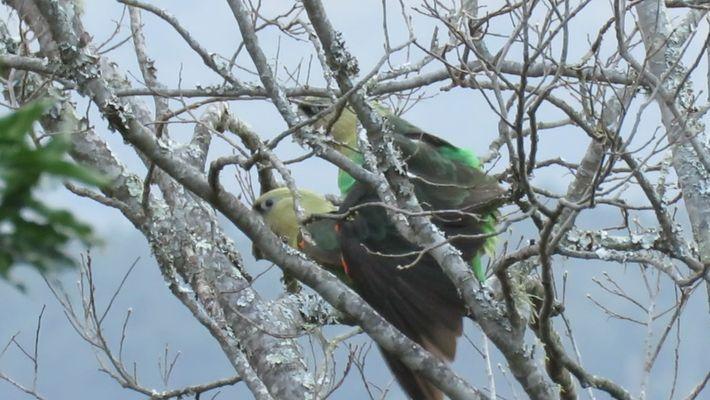 Einmalig: Afrikas seltenster Papagei bei der Paarung gefilmt