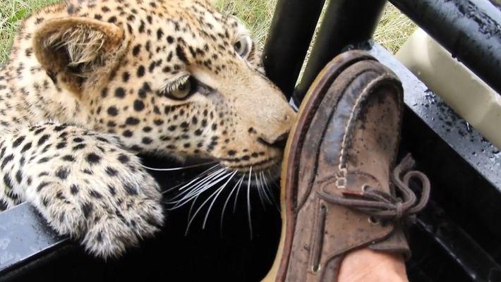 Wilder Leopard spielt mit dem Fuß eines Touristen