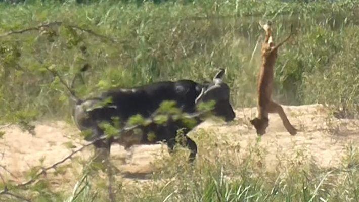 Büffel schleudert Löwen durch die Luft