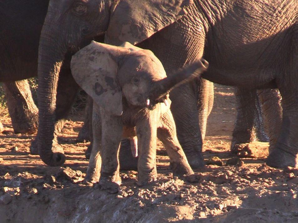 Tierverhalten: Elefantenkalb mit Helikopter-Rüssel