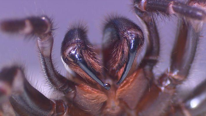 Wie melkt man tödliche Spinnen?